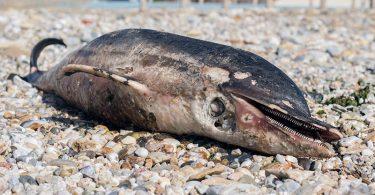 νεκρό δελφίνι