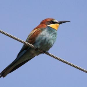 To πιο πολύχρωμο πουλί της Ευρώπης χρωματίζει τον ουρανό του δάσους της Δαδιάς