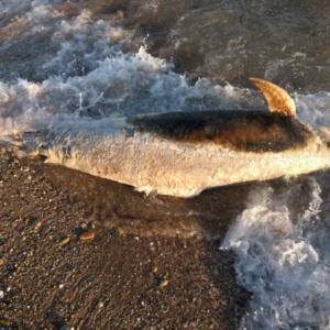 Δελφίνι σε πολύ προχωρημένη σήψη ξεβραστηκε στην Αλεξανδρούπολη (photos & video)